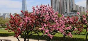 2019년 여의도 봄꽃축제(19.4.5.~4.11.)